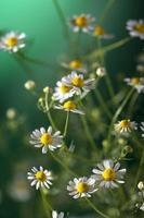chamomiles foto