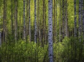 träd i vårskogen. foto