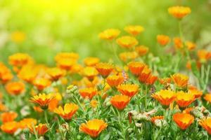 ringblomma blommor foto