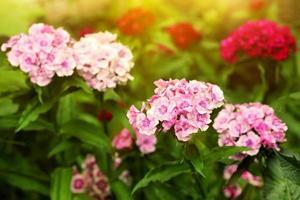 mjuka rosa trädgårdsmjuka blommor foto
