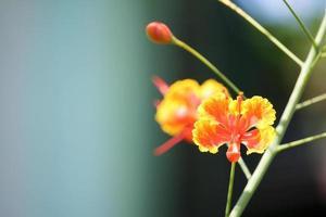 röd flamboyant blomma