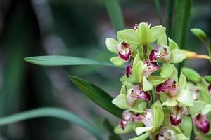 tropisk grön cymbidiumorkidé foto