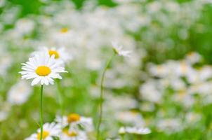 fält av vit tusensköna foto