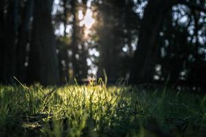 solstrålar som kommer genom höga träd och grönt fält foto
