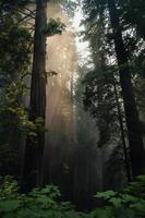 redwood träd på dagen