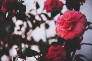 rosa kronblad blommacloseup foto