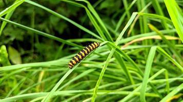cinnabar moth larv