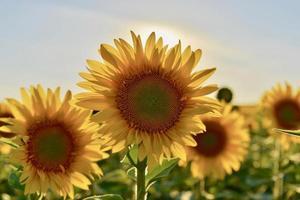 närbild av solrosor foto