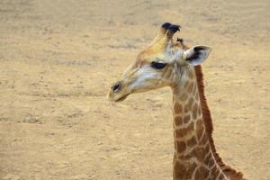 närbild av giraffens huvud foto
