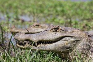 närbild krokodil foto