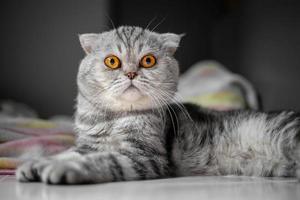 skotsk veck katt vid uppmärksamhet foto