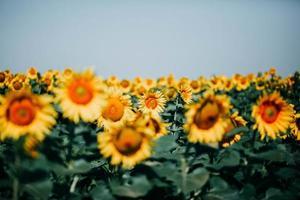 gult solrosfält