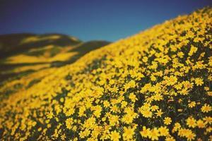 gult tusensköna fält