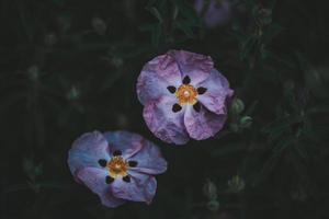 två lila blommor foto