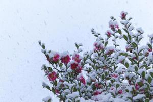 fallande snö och kyliga kameliablommor foto