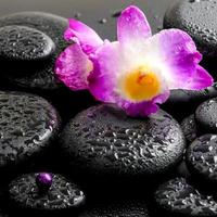 vacker lila orkididendrobium med droppar på svart foto