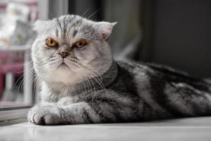 skotsk veck katt tittar på kameran foto