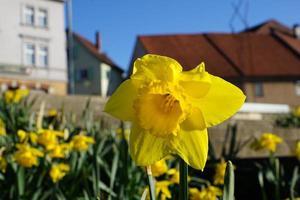 gula påskliljor i Tyskland foto
