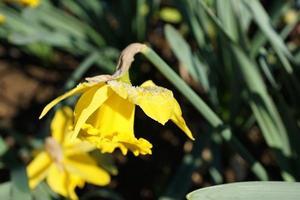 gul påsklilja i parken foto