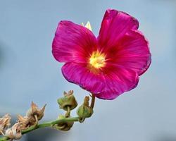 närbild av lila blomma