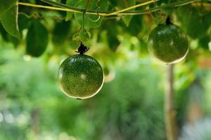 passionfrukt på vinstockar