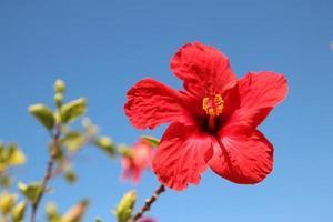 närbild av en röd hibiskusblomma foto