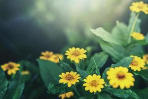 gula vilda blommor foto