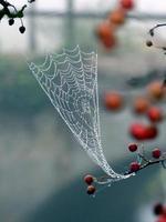 daggdroppar på ett spindelnät