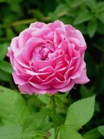 närbild av en rosa pionblomma foto