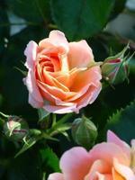närbild av persikoroser foto