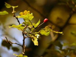 röd bär på gren foto