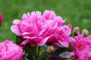 närbild av rosa pioner foto