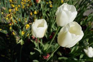 vita tulpaner i parken