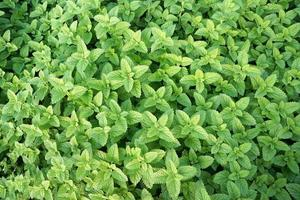 färsk, grön pepparmynta foto