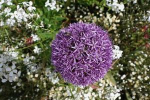 lila purjolök och andra blommor