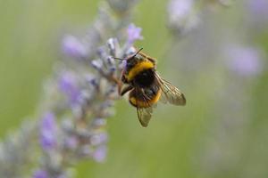 en bi som pollinerar lavendel foto