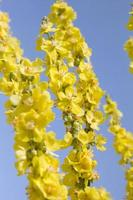 ljusgula blommor foto