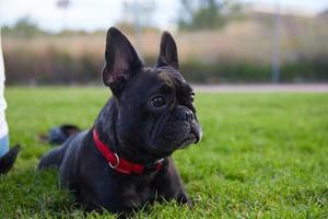 fransk bulldog på gräset foto