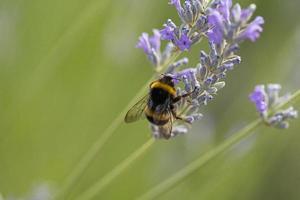 ett bi på en lavendelväxt foto