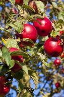 röda äpplen på ett träd foto