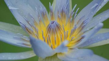 närbild av en blå och gul lotus