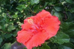 röd hibiskusblomma foto