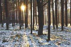 vinterliga skogsträd med solnedgång