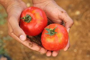 person som håller två mogna tomater foto