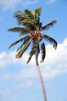 palmträd i florida foto