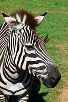 zebra porträtt, närbild. foto