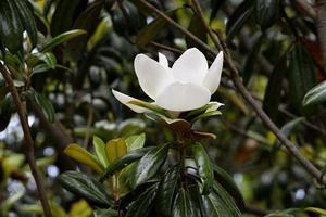 magnoliablomma i parken foto