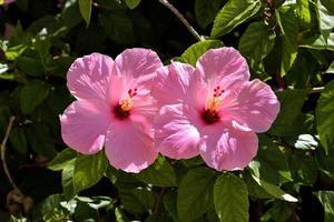 rosa hibiskus i trädgården foto