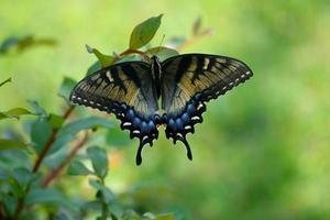 färgglad svalstjärtfjäril