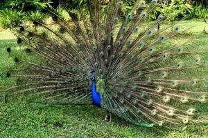 påfågel i parken